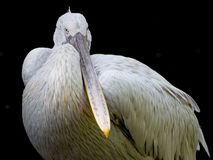 Pelican looking Stock Photos