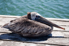 Pelican Looking Baleful. Brown Pelican resting on the end of a pier in Berkeley Marina Ca looking balefully at the camera with orange eye Royalty Free Stock Images