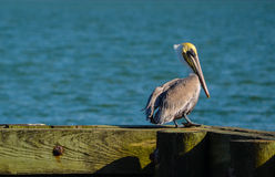Pelican Looking at the Bay. In Palacios, Texas Stock Photos