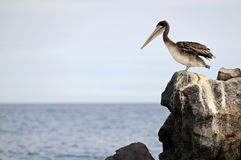 Pelican is looking at the ocean. Pelican is standing on the edge of the rock and  looking at the ocean Royalty Free Stock Photo