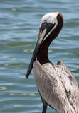 Pelican Looking Out at Water Royalty Free Stock Image