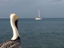 The pelican looking to the boat. stock photo