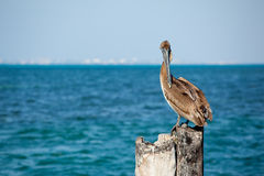 Pelican by blue sea Royalty Free Stock Image