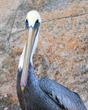 Pelican on Los Arcos / Lands End cliff ledge in Cabo San Lucas Baja Mexico Stock Photography