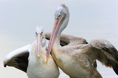 Pelican in love Stock Image