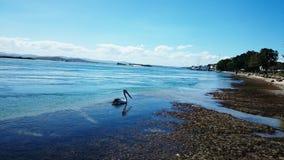 Pelican @湖Macquarie 免版税库存图片