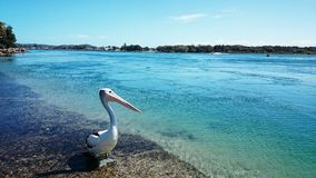 Pelican @湖Macquarie 库存图片