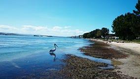 Pelican @湖Macquarie 库存照片