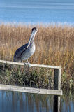 Pelican in Marsh. A Pelican takes a rest in Murrells Inlet, South Carolina Royalty Free Stock Photos
