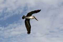 Pelican. A mature pelican flies over the pier in San Francisco royalty free stock images