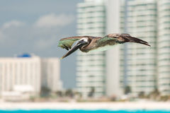 Pelican in Mexico. Flying pelican on the Cancun beach in Mexico Stock Photography