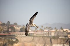 Pelican in mid-air Royalty Free Stock Images