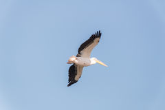 Pelican migration at Viker lookout Stock Photography