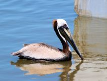 Pelican. A Pelican in Mobile Bay just off Dauphin Island, Alabama Stock Photo