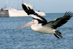 Pelican, Monkey Mia beach Royalty Free Stock Image
