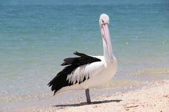 Pelican in Monkey Mia. Shark Bay Western Australia royalty free stock photography