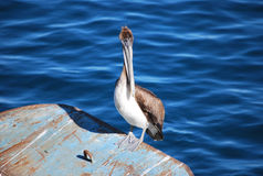 Pelican at Monterey Wharf Stock Photography