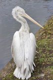 A pelican is in the Moscow zoo. Russia Royalty Free Stock Photo
