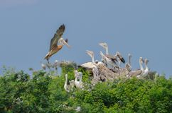 Pelican mother coming back to nest stock photo