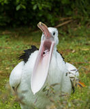 Pelican Mouth Royalty Free Stock Images