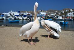 Pelican from Mykonos, Greece. Pelican standing on the port of Mykonos, Greece Royalty Free Stock Image