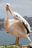 Pelican from Mykonos, Greece Stock Photos