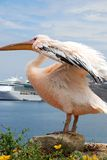 Pelican from Mykonos, Greece Royalty Free Stock Photography