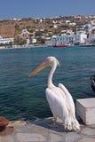Pelican in Mykonos, Greece Stock Photo