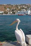Pelican in Mykonos, Greece Royalty Free Stock Photography