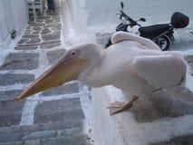 Pelican in Mykonos, Greek islands stock images