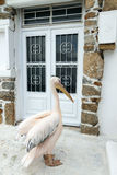 The Pelican of Mykonos island Royalty Free Stock Photography