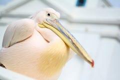 Pelican in Mykonos. Signatue wildlife Pelican on the Island Stock Images