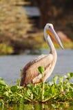 Pelican, Naivasha Lake Royalty Free Stock Images