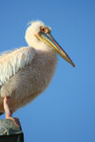 Pelican, Namibia Royalty Free Stock Photo