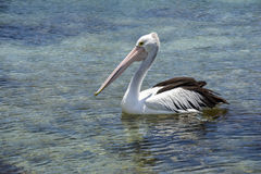 Pelican in a National Park in New South Wales, Australia. A pelican in a National Park in New South Wales, Australia Royalty Free Stock Photos