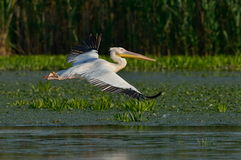 Pelican in natural habitat Royalty Free Stock Photo