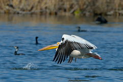 Pelican in natural habitat Royalty Free Stock Photography