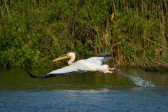 Pelican in natural habitat Royalty Free Stock Images