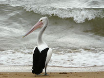 Pelican near rough sea. Stock Images