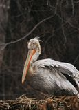 Pelican Nest Royalty Free Stock Images