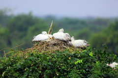 Pelican Nest Stock Photography