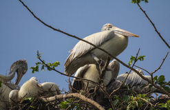 Pelican Nest Royalty Free Stock Photos