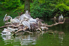 Pelican nest Royalty Free Stock Image