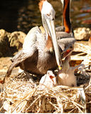 Pelican nesting. Brown Pelican nesting with two babies on a small island on a river in Florida Stock Photography