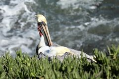 Pelican nesting on the side of a cliff with the ocean in the background. In La Jolla San Diego california Stock Photo