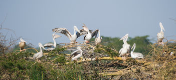 Pelican nesting site South Africa Stock Images