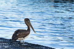 A Pelican on a net Stock Images