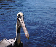Pelican Nose Royalty Free Stock Image