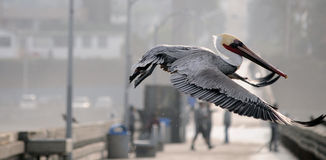 Pelican flying Stock Photography