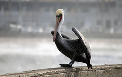 Pelican Sitting On Pier readying to fly Stock Photo